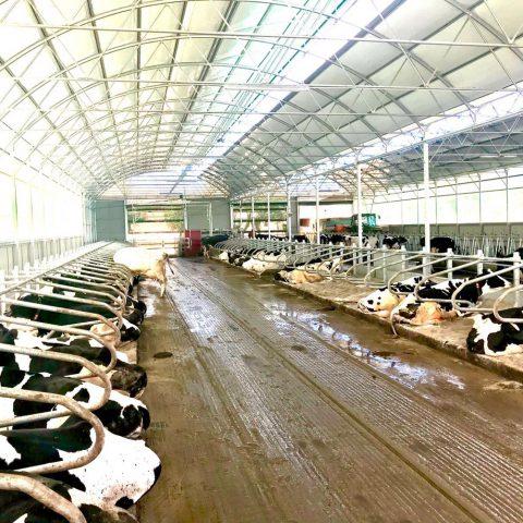 Nave prefabricada vacas