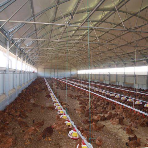 Nave pollo ecológico
